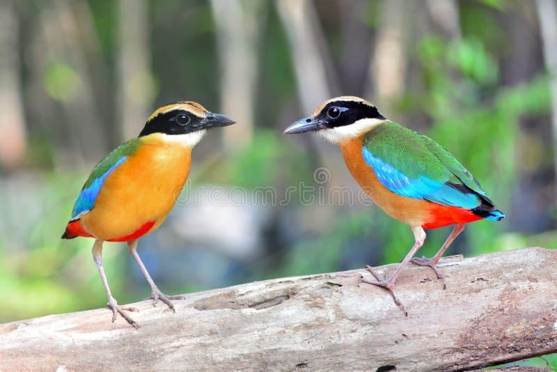 Blauwe gevleugelde vogel Pitta stock afbeelding