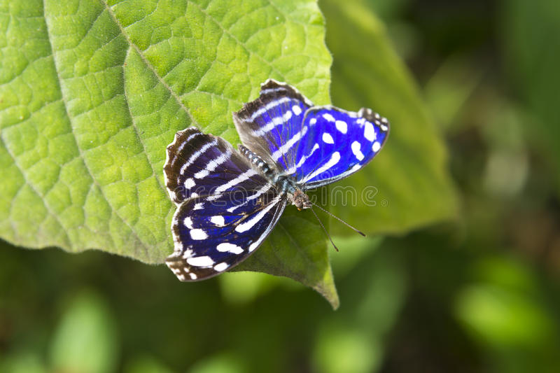 Blauwe Golfvlinder (Myscelia-cyaniris) royalty-vrije stock fotografie