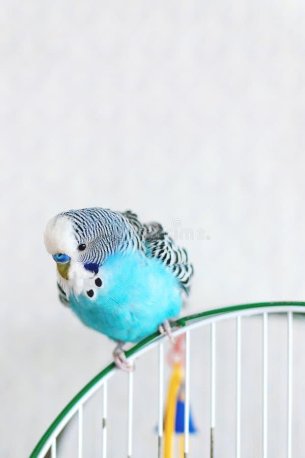 Blauwe golvende budgiezitting op de kooi op lichte achtergrond Één Leuke kleurrijke budgie in kooi, binnen royalty-vrije stock afbeeldingen