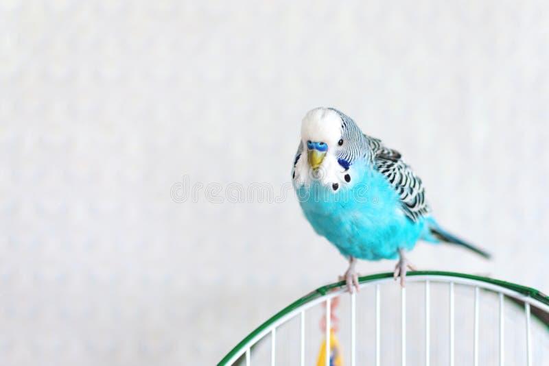 Blauwe golvende budgiezitting op de kooi op lichte achtergrond Één Leuke kleurrijke budgie in kooi, binnen stock afbeeldingen