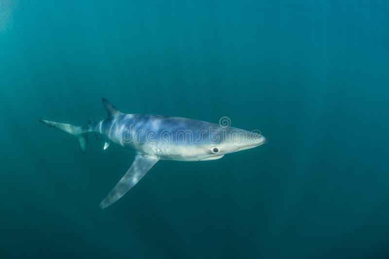 Blauwe Haai die in Oceaan zwemmen stock fotografie