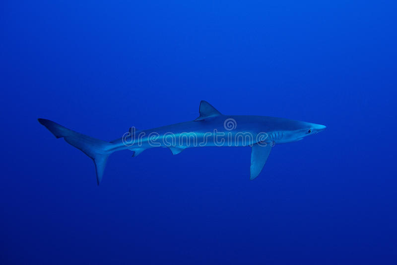 Blauwe haai (Prionace-glauca) stock foto's