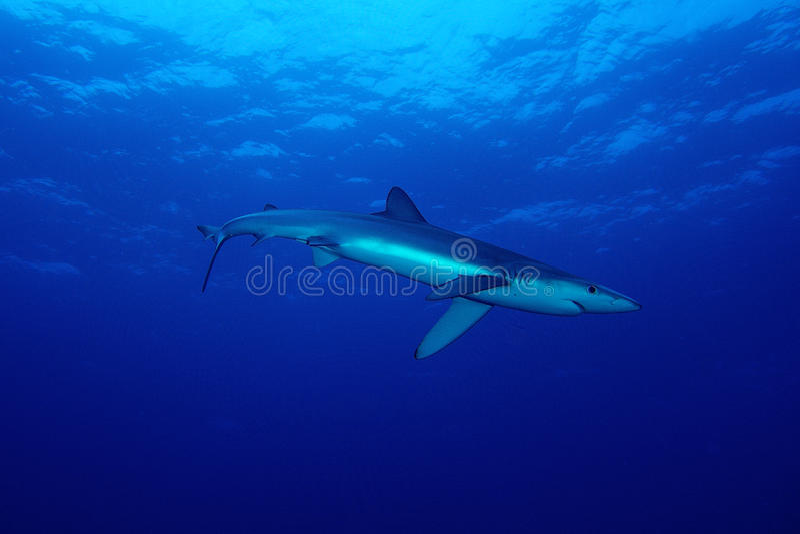 Blauwe haai (Prionace-glauca) stock afbeelding