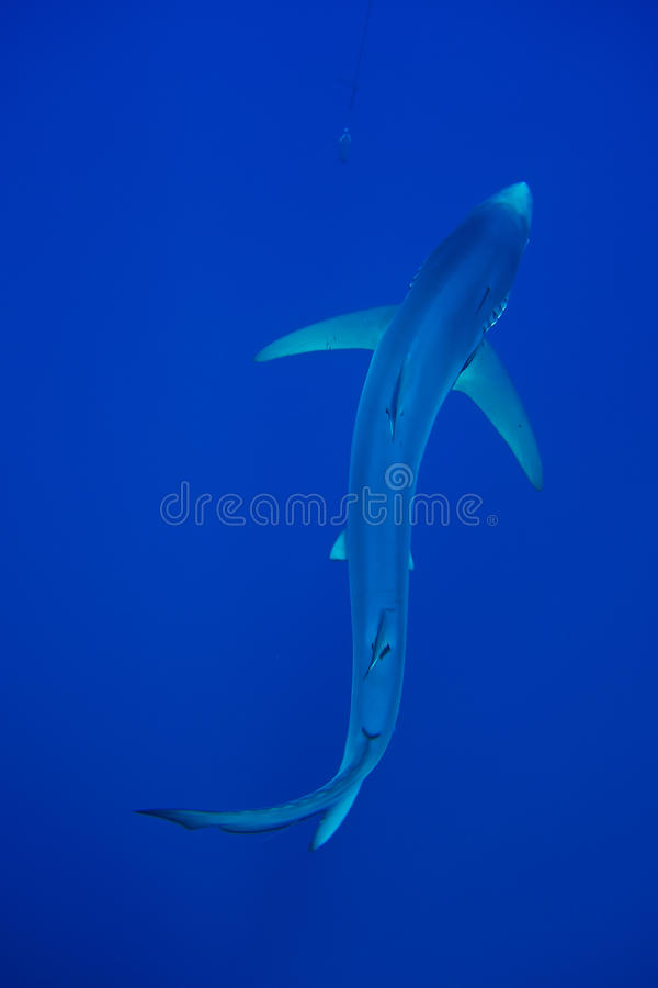 Blauwe haai (Prionace-glauca) stock foto