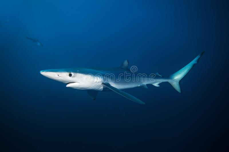 Blauwe haai, prionace glauca, de Atlantische Oceaan, Zuid-Afrika stock foto's