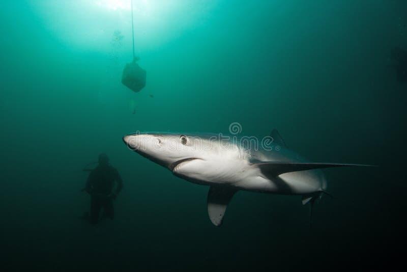 Blauwe haai, prionace glauca, de Atlantische Oceaan, Zuid-Afrika stock afbeelding