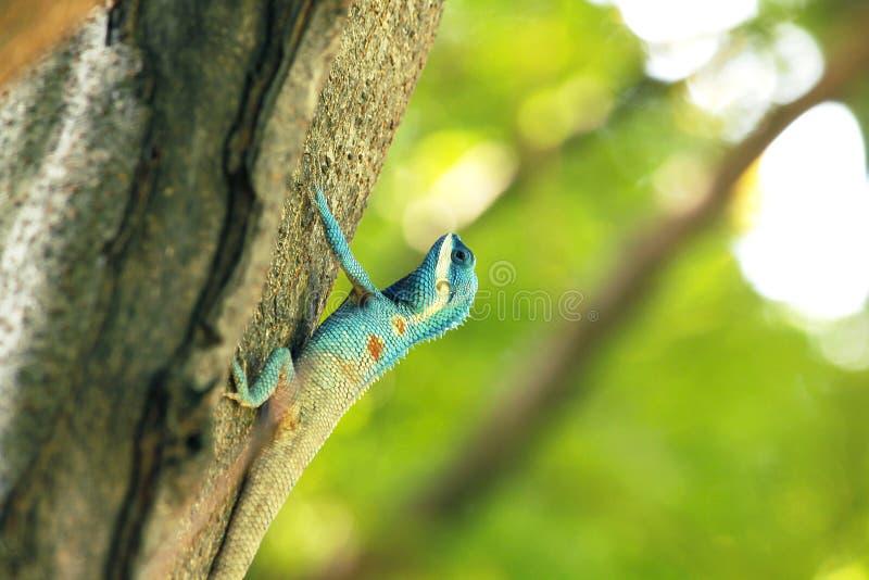 Blauwe hagedis die op bomen beklimmen royalty-vrije stock afbeelding