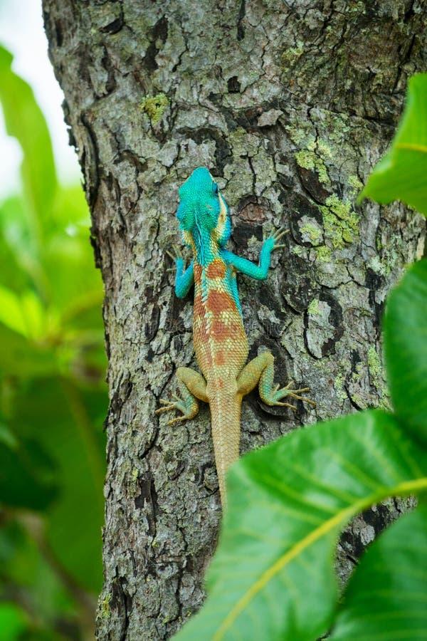 Blauwe hagedis op een boom; Calotes Mystaceus stock fotografie