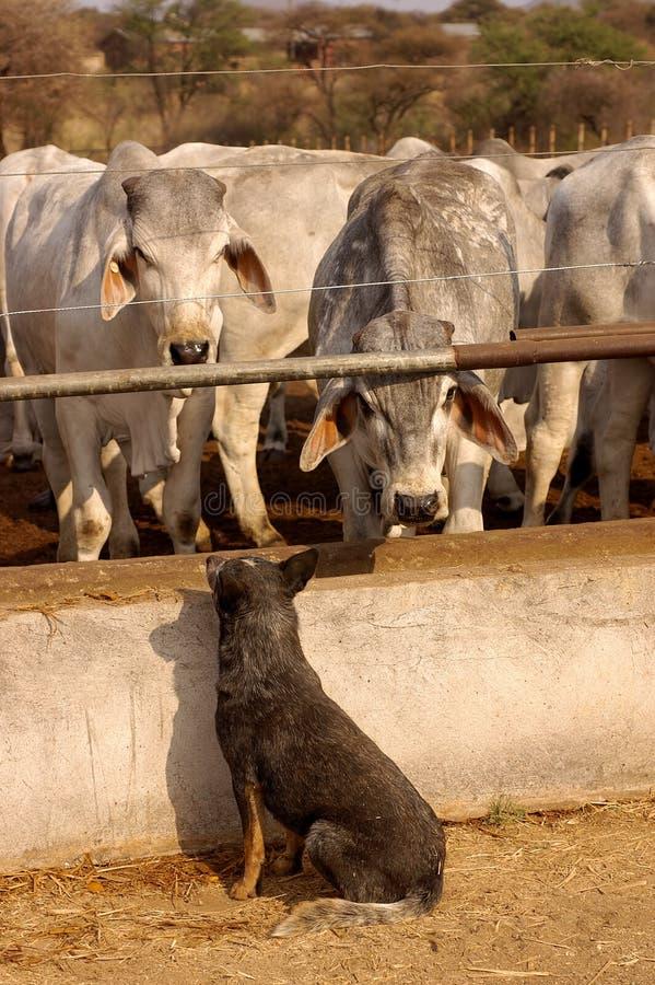 Blauwe Heeler die een kudde van Brahmans bewaakt stock afbeelding