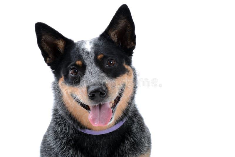 Blauwe Heeler-Hond stock foto