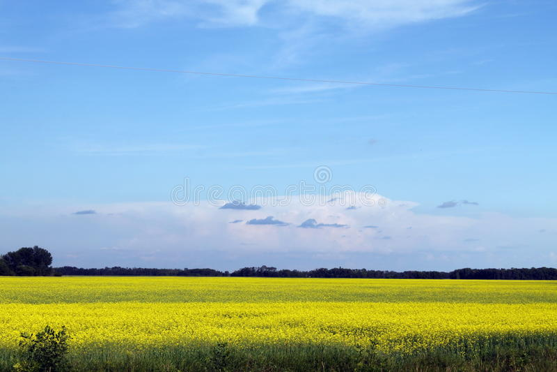 Blauwe hemel, Canola-het groeien in Manitoba stock foto's