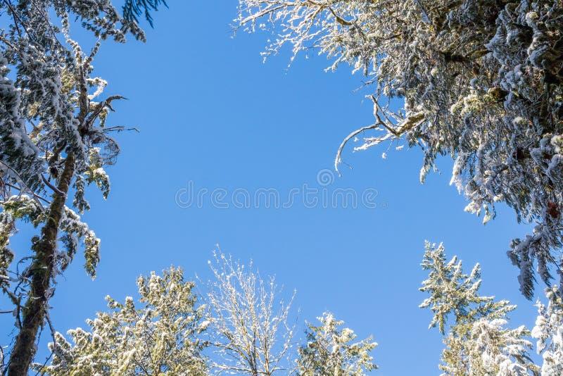 Blauwe hemel door de sneeuwboomtakken royalty-vrije stock foto's