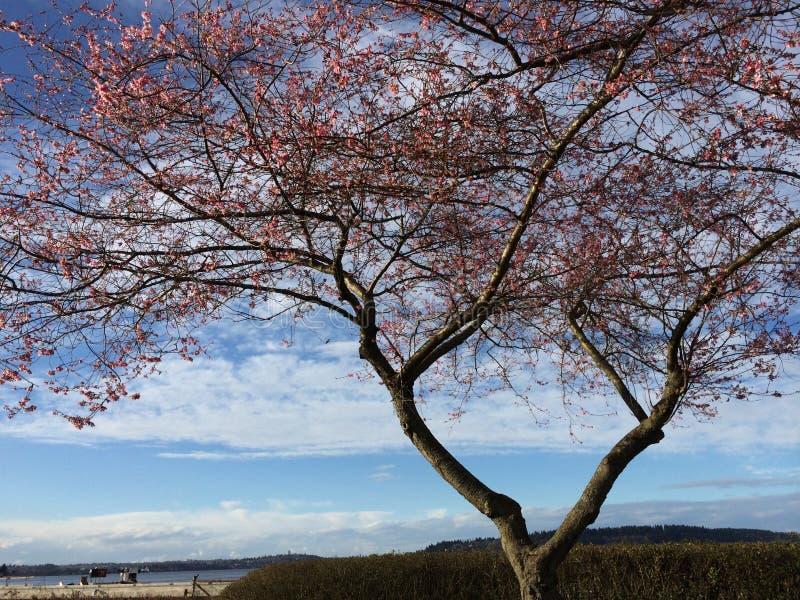 Blauwe hemel en roze bloesems royalty-vrije stock afbeelding