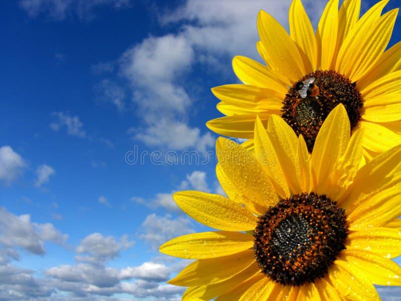 Blauwe hemel en zonbloemen stock afbeeldingen