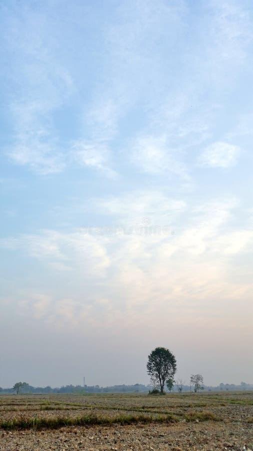 Blauwe hemel Rijstvelden die beginnen te drogen in de winter in Thailand Foto van Royalty free stock stock foto