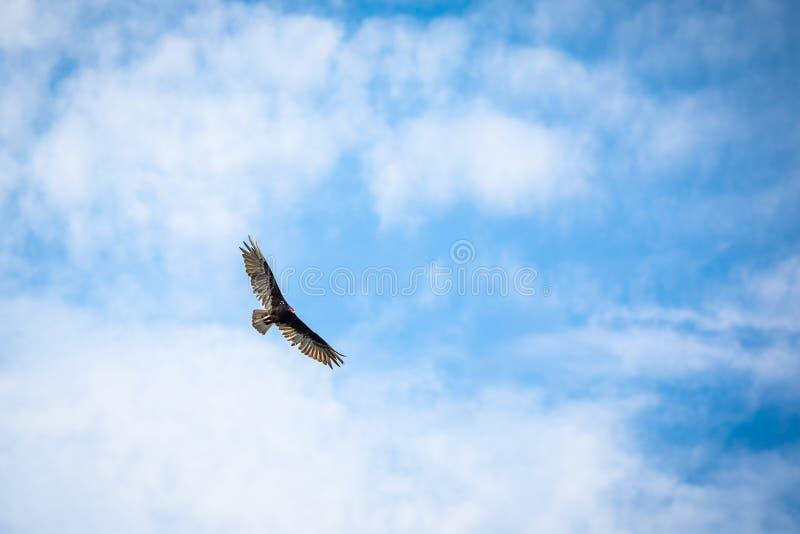 Blauwe hemel van de roofvogels de vliegende gier stock afbeelding