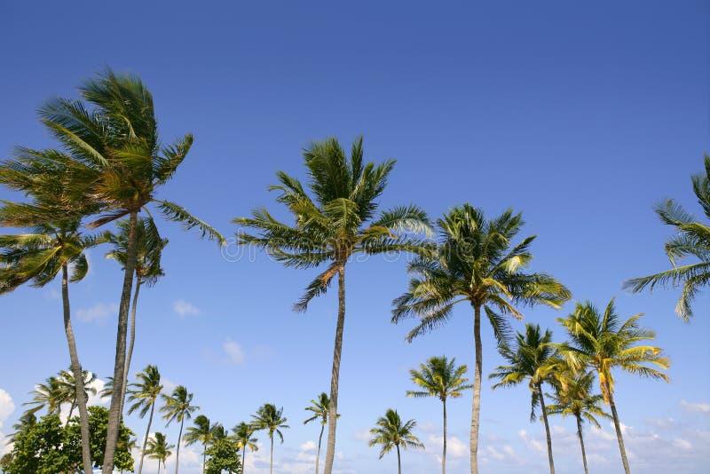 Blauwe hemelpalmen in tropisch Florida stock foto