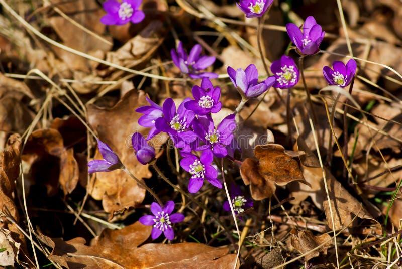 Blauwe hepaticabloemen en bruine bladeren in de lente royalty-vrije stock foto's