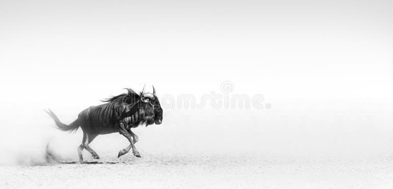 Blauwe het meest wildebeest in woestijn royalty-vrije stock foto's