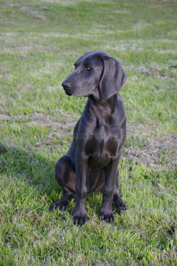 Blauwe hond Weimaraner stock fotografie