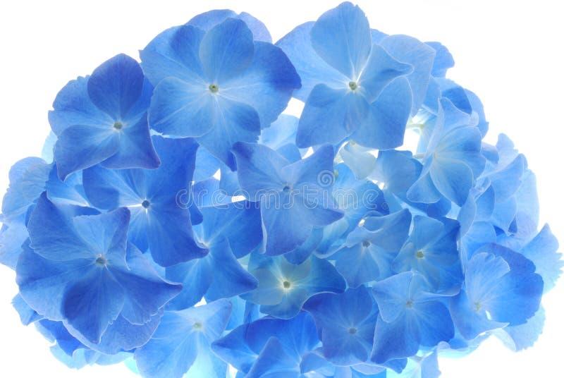 Blauwe hortensia stock afbeelding