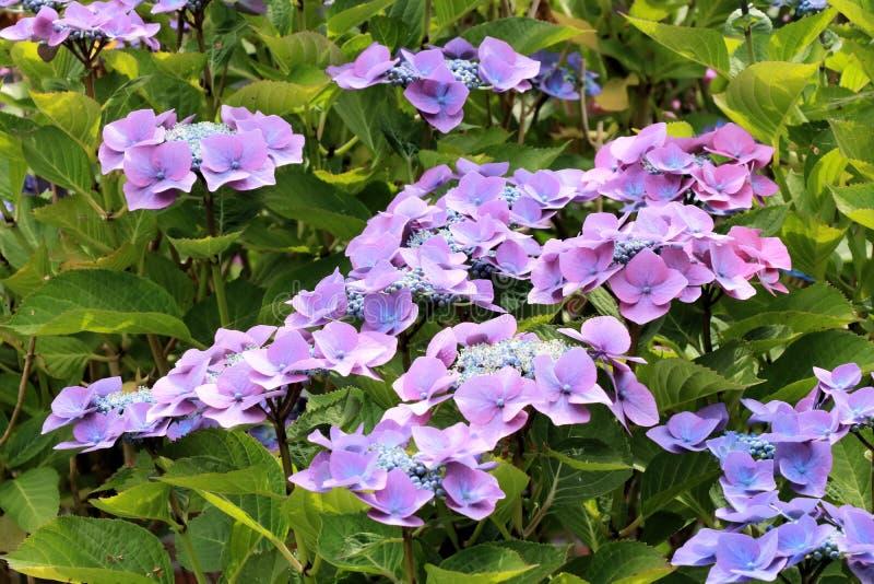 Blauwe hortensia stock fotografie
