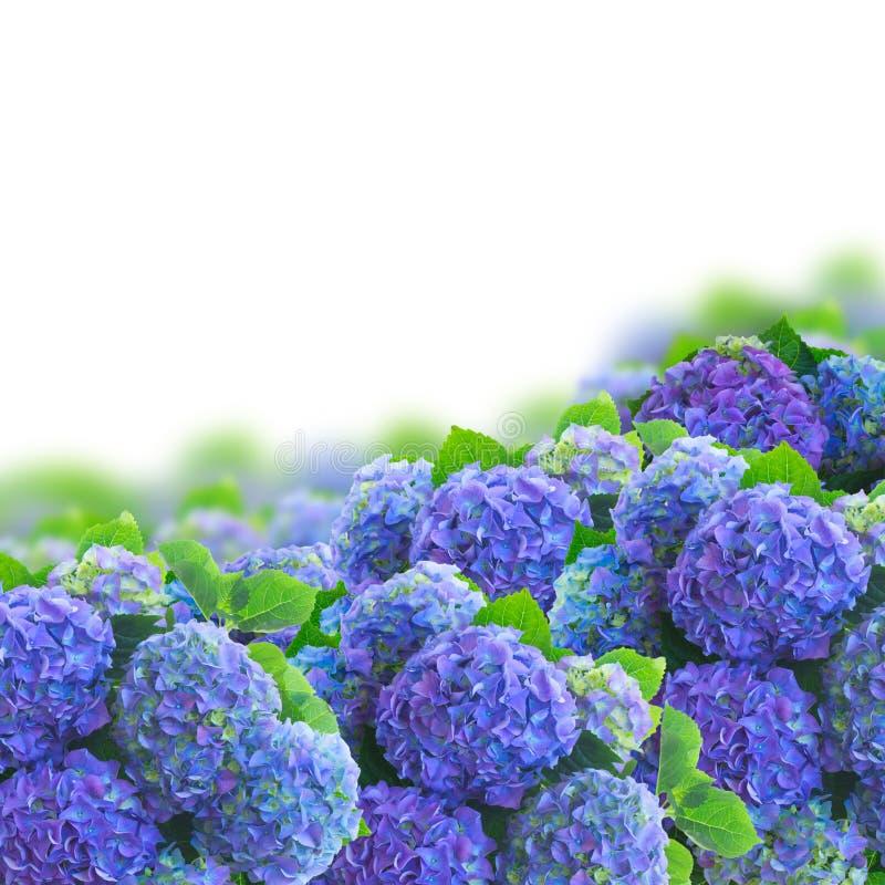 Blauwe hortensia bloeit grens royalty-vrije stock afbeeldingen
