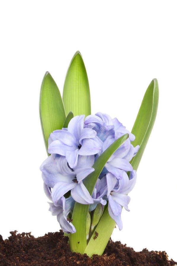 Blauwe hyacint stock foto