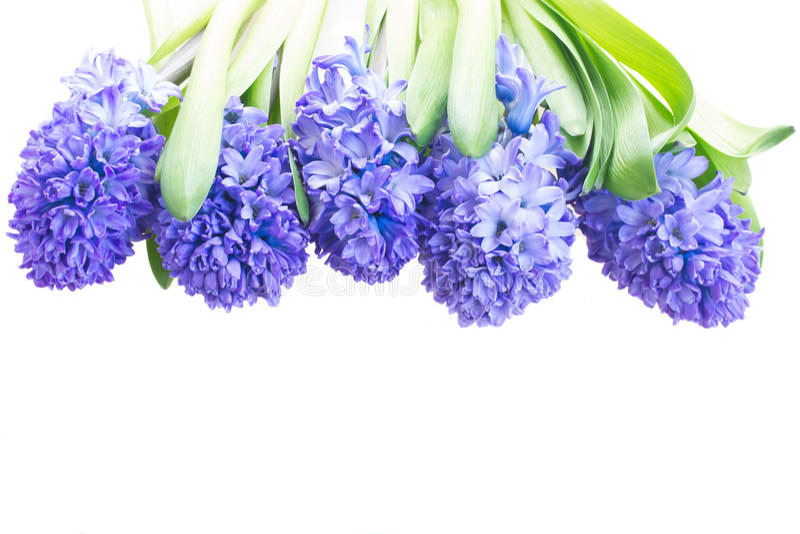 Blauwe hyacint royalty-vrije stock fotografie