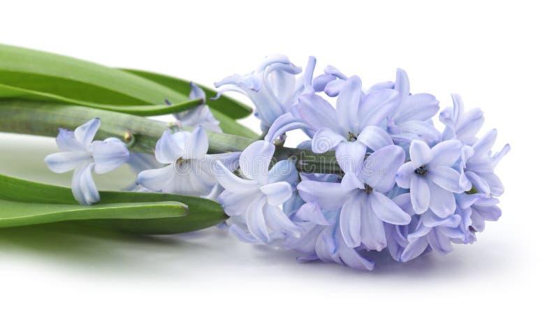 Blauwe hyacint stock foto's