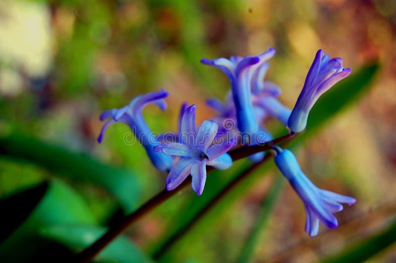 Blauwe hyacint royalty-vrije stock afbeeldingen