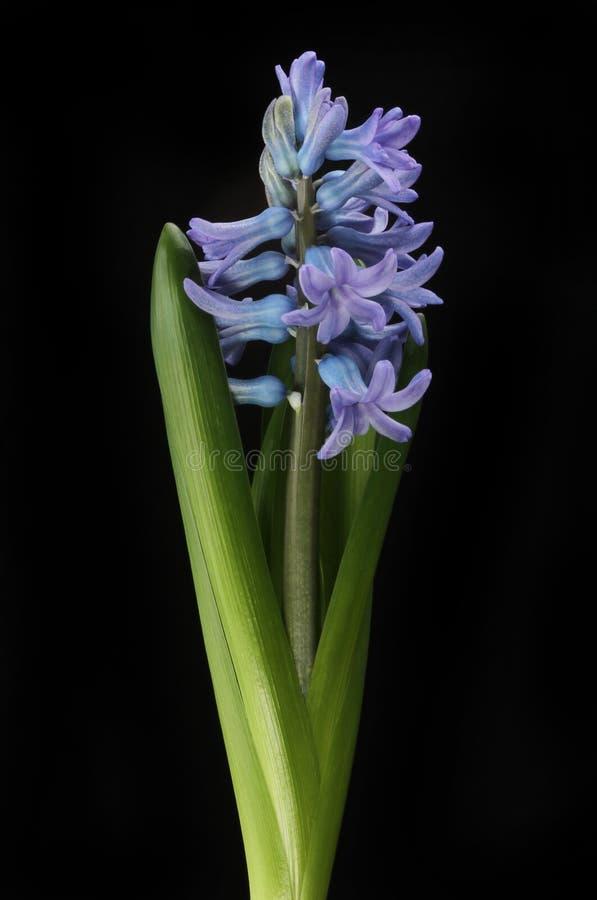 Blauwe hyacint tegen zwarte stock afbeeldingen
