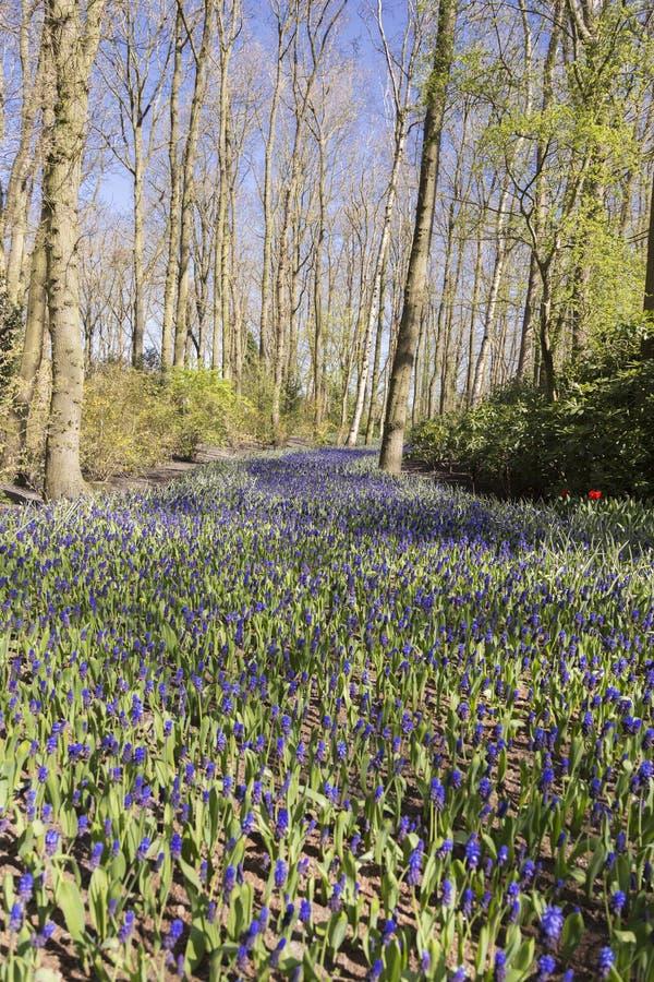 Blauwe hyacinten in de lenteportret stock afbeelding