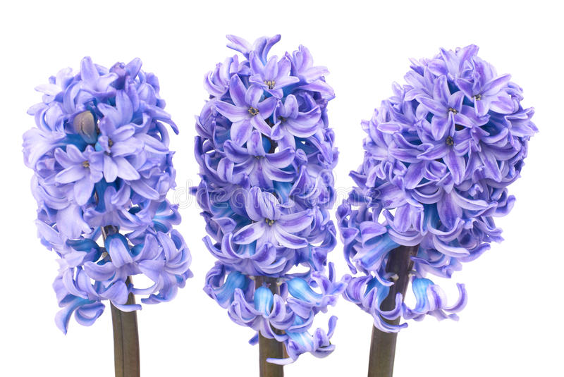 Blauwe hyacinthes royalty-vrije stock afbeelding