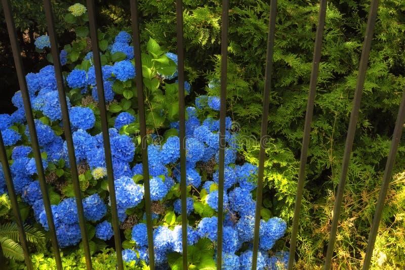 Blauwe Hydrangea hortensia's in volledige bloei stock foto's