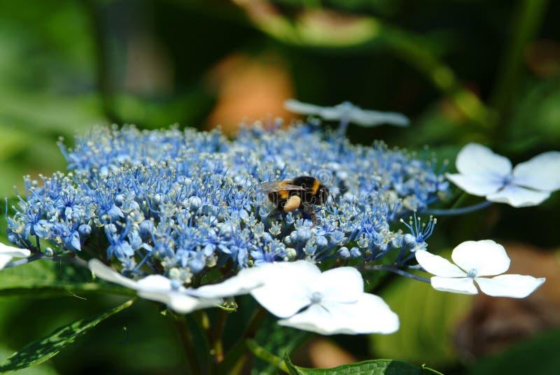 Blauwe hydrangea hortensiabloem van de tuin van de Parkvilla Pallavicino royalty-vrije stock foto's
