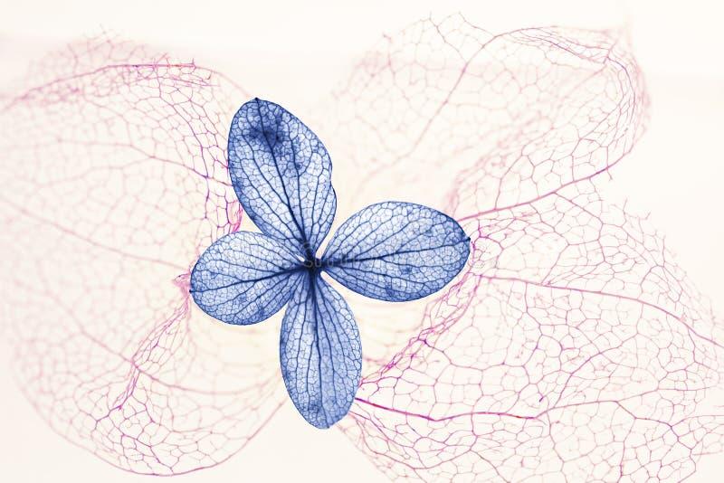 Blauwe hydrangea hortensiabloesem en filigraan roze physalisskelet stock foto