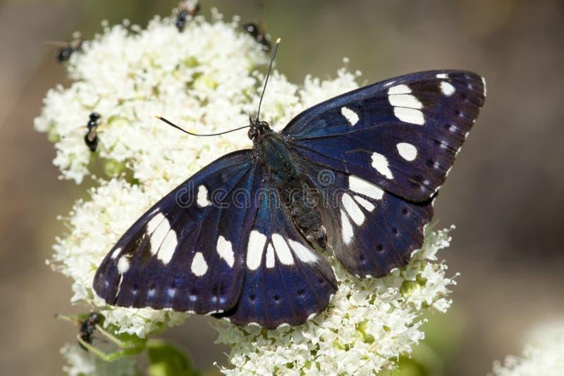 Blauwe ijsvogelvlinder, sydlig vit amiral arkivbild