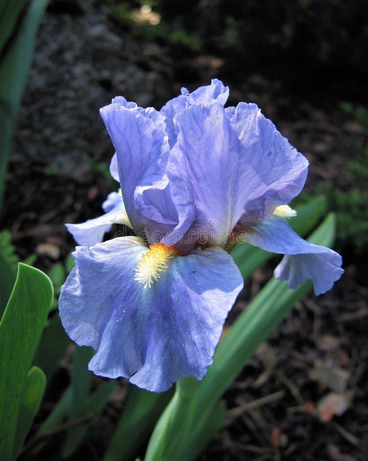 Blauwe Iris stock foto's