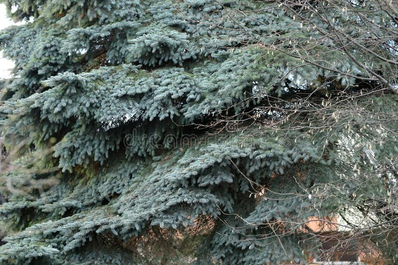 Blauwe Kerstboom met oude takken stock foto's