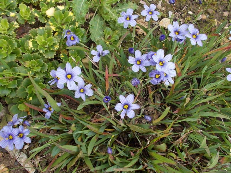 Blauwe kleine bloem stock fotografie