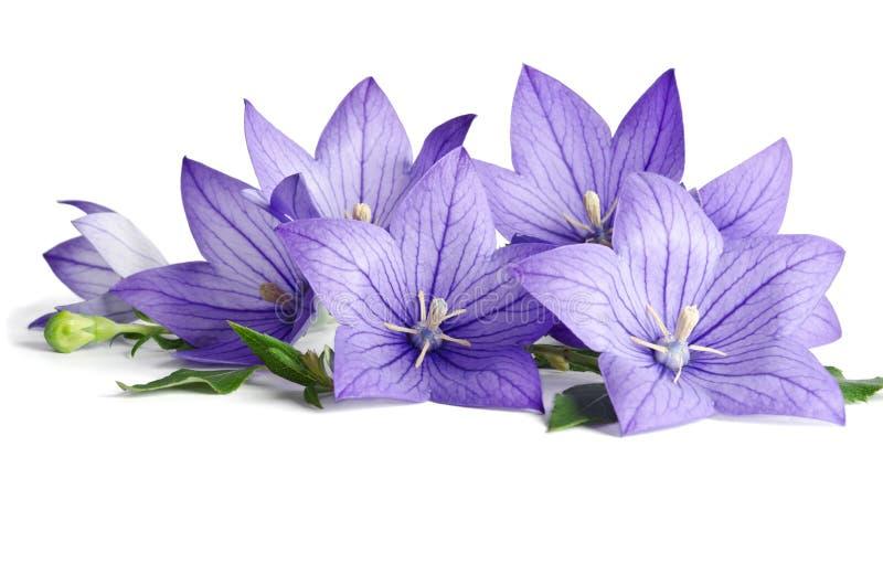 Blauwe klokbloemen stock foto's
