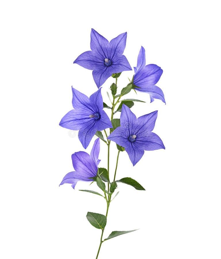 Blauwe klokbloemen royalty-vrije stock foto's