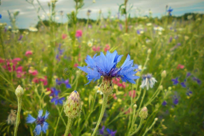 Blauwe korenbloem op een bloeiende weide onder bloemen in de zomer stock foto