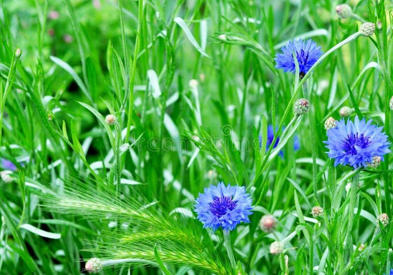 Blauwe Korenbloemen in de de zomertuin Mooie wildflowerskorenbloemen royalty-vrije stock afbeelding