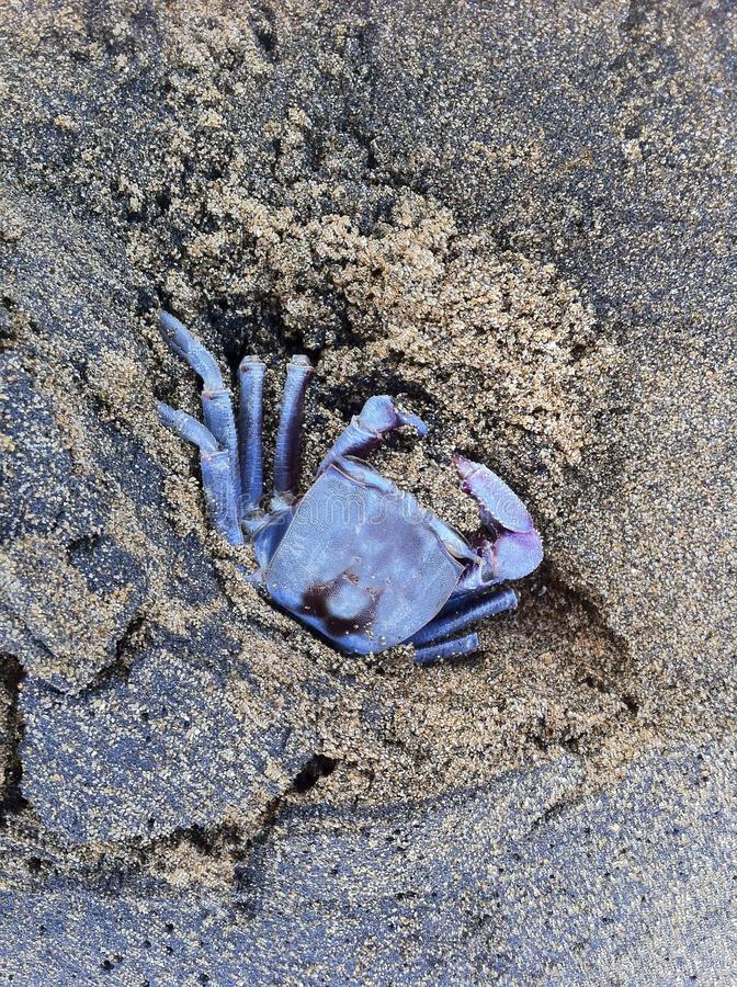 Blauwe krab stock foto