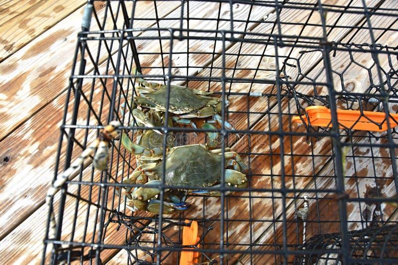 Blauwe krabben in een krabpot op de Chesapeake Baai in Virginia royalty-vrije stock foto