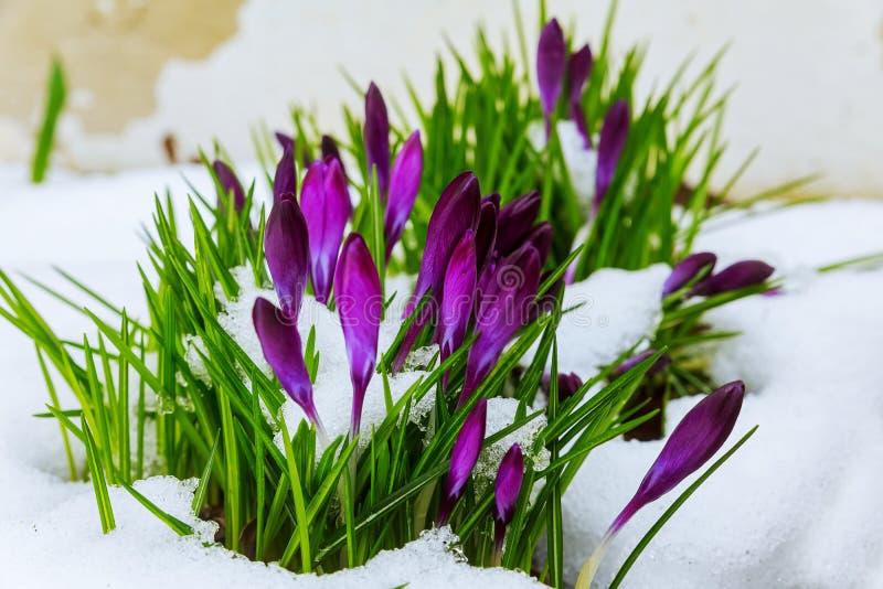 Blauwe krokus die van sneeuw bloeien royalty-vrije stock fotografie