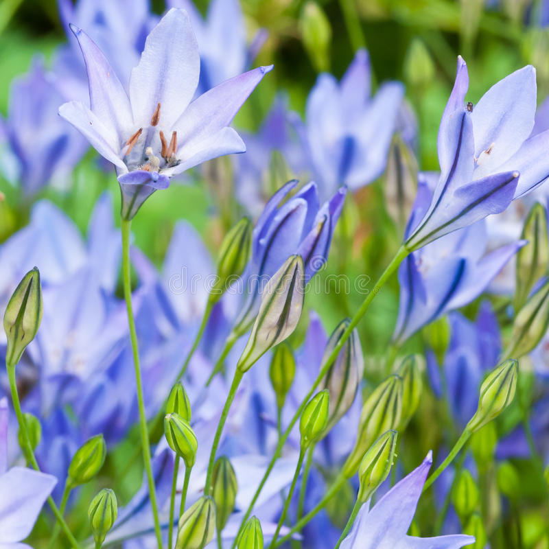 Blauwe Lelie stock afbeeldingen