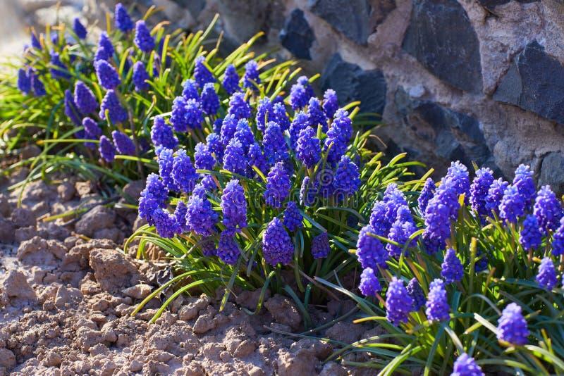Blauwe lentebloem, Grape Hyacinth, Muscari racemosum stock foto's